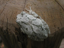 Grey Tree frogs Back Royalty Free Stock Images