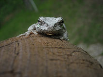 Grey Tree Frogs Tounge Immagine Stock