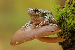 Grey treefrog (Hyla versicolor). On a mushroom stock photography