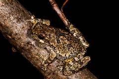 Grey Treefrog no ramo de árvore foto de stock