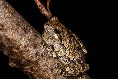 Grey Treefrog sul ramo di albero Fotografia Stock Libera da Diritti