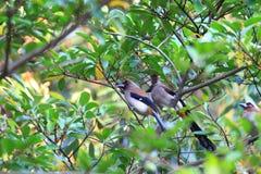 Grey Treepie of Himalayan Treepie Royalty-vrije Stock Foto
