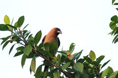 Grey Treepie of Himalayan Treepie royalty-vrije stock afbeelding