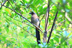 Grey Treepie or Himalayan Treepie Royalty Free Stock Photos