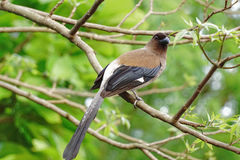 Grey Treepie in Taiwan Stockfotografie
