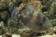 Grey Triggerfish Arkivbild