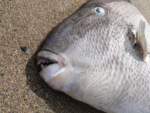 Grey Triggerfish. Balistes capriscus (Gmelin, 1789) Royalty Free Stock Photo