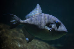 Grey triggerfish Balistes capriscus. Royalty Free Stock Image