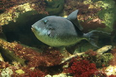 Grey triggerfish Royalty Free Stock Images