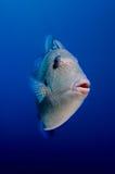 Grey triggerfish Royalty Free Stock Photography