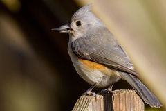 Grey Tufted Titmouse perched on a fence post Royalty Free Stock Image