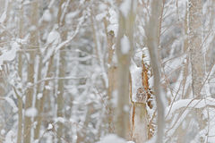 Grey Ural Owl, Strix uralensis, sitting on tree branch, hidden in the winter forest. Beautiful bird in the nature habitat, Czech r stock photo