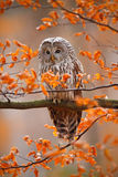 Grey Ural Owl, Strix uralensis, sitting on tree branch, at orange leaves oak autumn forest Royalty Free Stock Images