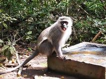 Grey Velvet Monkey a Monkeyland sull'itinerario del giardino, Sudafrica fotografia stock