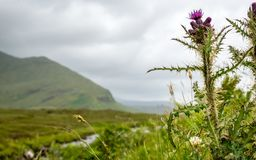 The Scottish Thistle and the Highlands, Scotland. A grey view of the Highlands with focus on the foreground thistle, the national flower of Scotland stock images