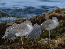 Grey Waders en la playa de Asilomar, CA fotos de archivo