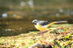 A grey wagtail. Royalty Free Stock Photography