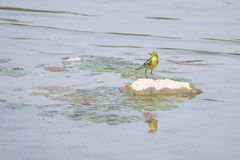 Grey Wagtail Stock Images