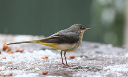 Grey wagtail. View of a wagtail closeup against a blurred background Royalty Free Stock Images