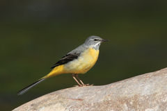 Grey Wagtail. A Grey Wagtail (Motacilla cinerea)stands on a stone in a river royalty free stock photo