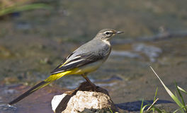 Grey Wagtail. Is perching on a piece of rock royalty free stock image