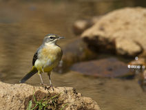 Grey Wagtail. Is perching on a piece of rock royalty free stock images