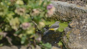 Grey wagtail bathing stock footage