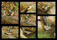 Grey Wagtail bird collage Stock Photography