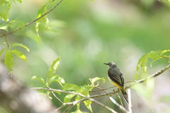 Grey Wagtail on the branch of tree Royalty Free Stock Image