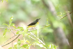 Grey Wagtail on the branch of tree Stock Images