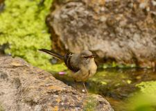 Grey wagtail camouflaged royalty free stock photos