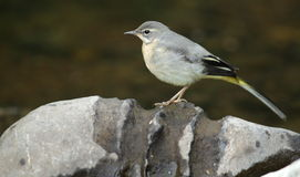 Grey wagtail chick. Stock Photos
