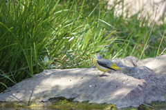 Grey Wagtail Royalty Free Stock Image