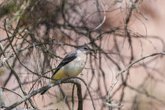 Grey wagtail fledgeling on a tree. A grey wagtail (Motacilla cinerea) fledgeling waiting on a pine tree Stock Photos