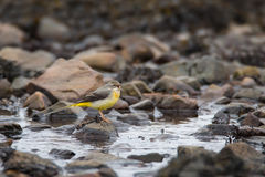 Grey Wagtail in full song  Royalty Free Stock Images