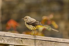 Grey wagtail on garden fence Royalty Free Stock Images