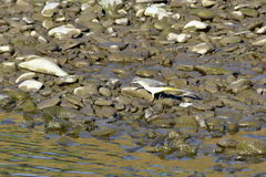 Grey wagtail Royalty Free Stock Images