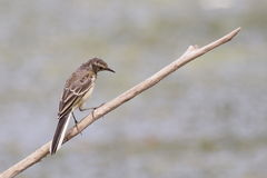 Grey Wagtail, Motacilla cinerea Stock Photography
