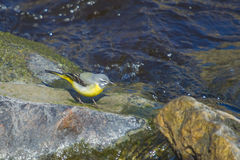 Grey wagtail, motacilla cinerea, cropped Stock Photos