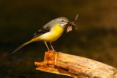 Grey wagtail, Motacilla cinerea, gray and yellow water bird with insect food in the bill, meat for young, animal in the nature hab Royalty Free Stock Image