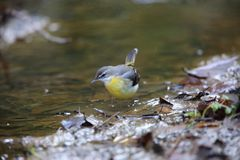 Grey wagtail in Japan royalty free stock photo