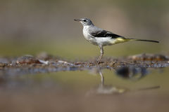Grey wagtail, Motacilla cinerea Stock Images