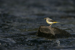 Grey wagtail, Motacilla cinerea, Stock Photography