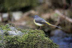 Grey wagtail, Motacilla cinerea Royalty Free Stock Photo