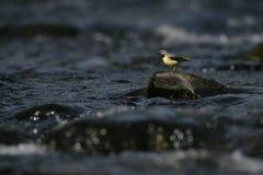 Grey wagtail, Motacilla cinerea, Royalty Free Stock Images