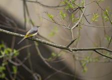 Grey Wagtail (Motacilla cinerea) Royalty Free Stock Photos