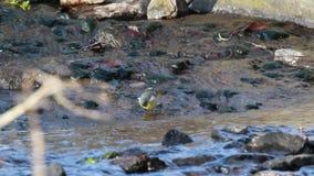 Grey wagtail, Motacilla cinerea, walking along river lossie near waterfall in elgin, scotland on a sunny march afterno. Grey wagtail, Motacilla cinerea, hopping stock video footage