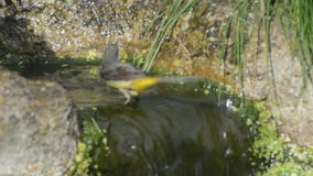 Grey wagtail Motacilla cinerea in water feature stock video footage