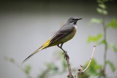 Grey wagtail (Motacilla cinerea). Royalty Free Stock Images