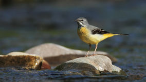Grey Wagtail on the River. A Grey Wagtail (Motacilla cinerea)stands on a stone in a river royalty free stock image